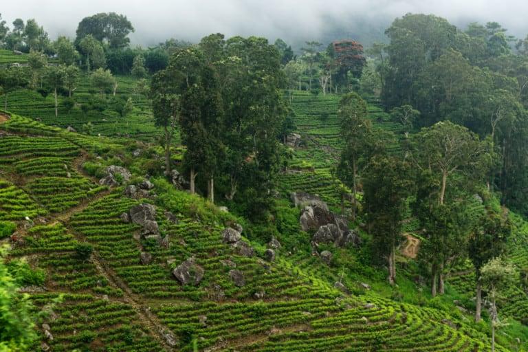 מטעי תה ירוק בסרינלקה